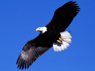 Águia voando