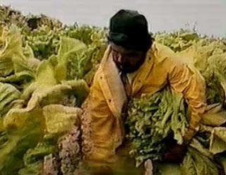 colheita do tabaco