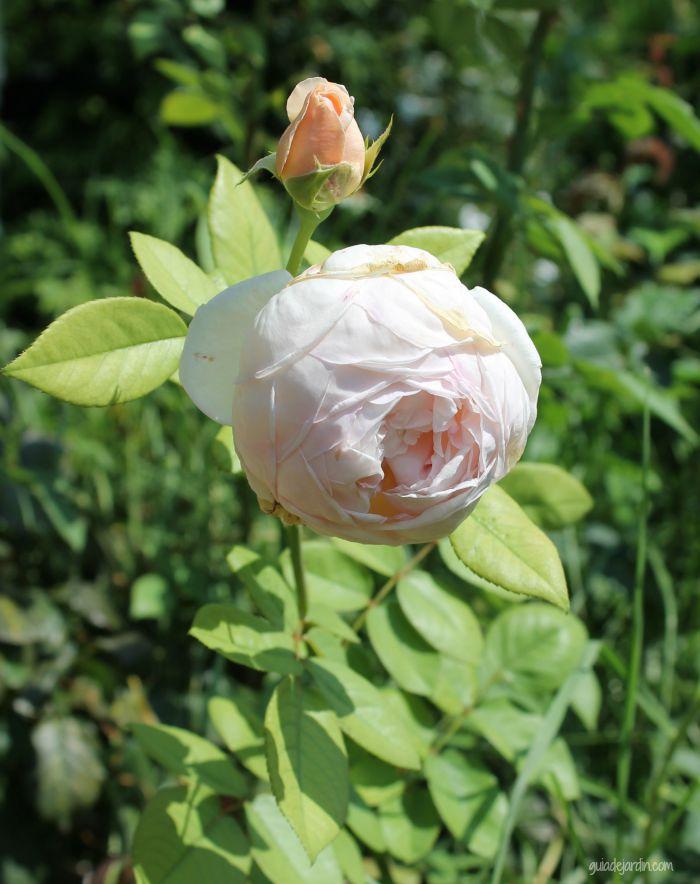 Una rosa de verano
