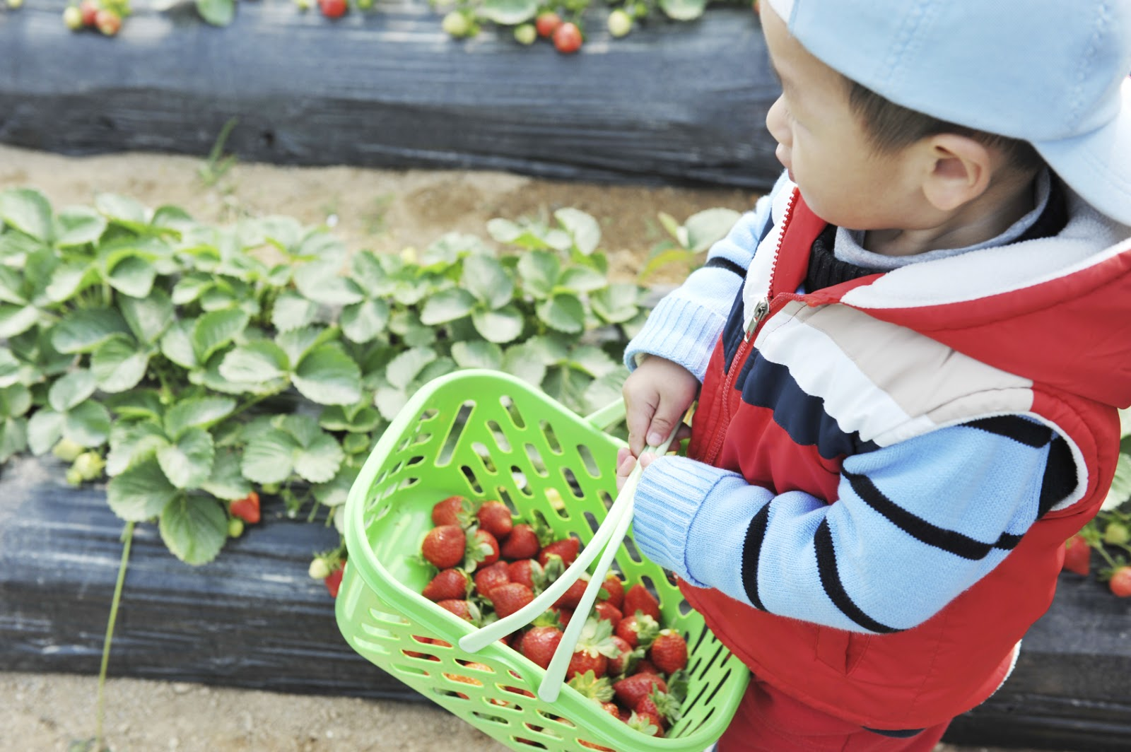 NAMC montessori educating the whole child boy carrying basket of strawberries