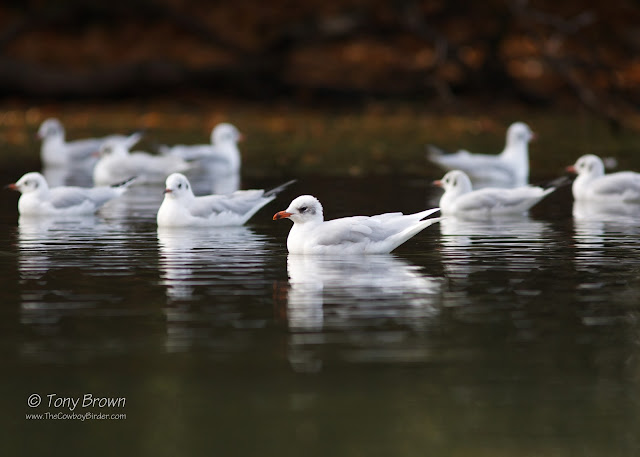 Med Gull, Adult Winter, Valentino