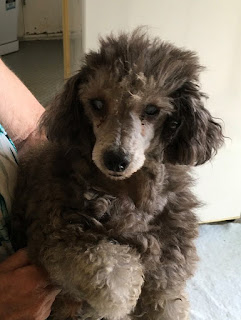 Bc Poodle And Small Dog Rescue Victoria Bc