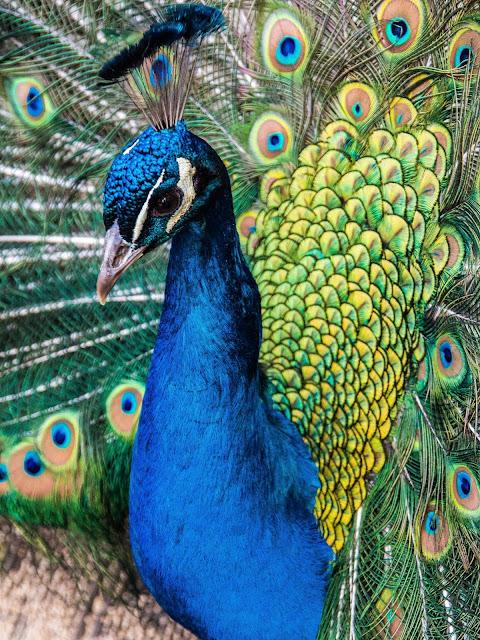 Blauw Pauwhaan
