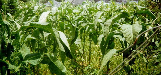 PR TOBACCO WAS USED EXTENSIVELY TO REPLANT CUBAN CROPS