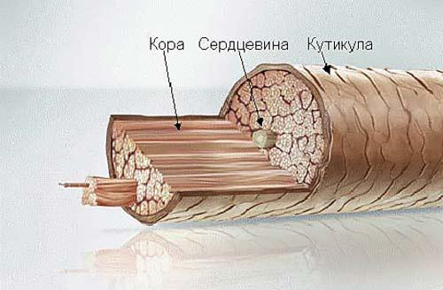 Сечение волоса