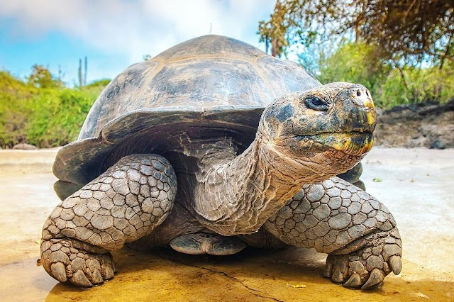 Rùa Galapagos - Galapagos Tortoise
