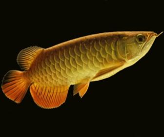 Ikan Arwana, Ikan Aquarium kelas atas