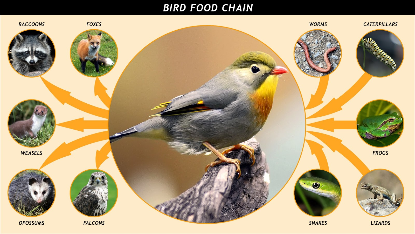 Learnanytime Food Chains And Food Webs