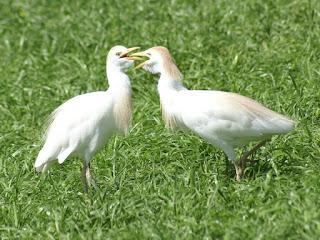 Héron garde-bœufs - Bubulcus ibis