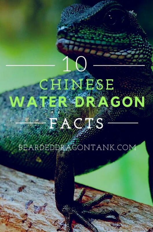 10 Chinese Water Dragon Facts You Must Know Bearded Dragon Tank