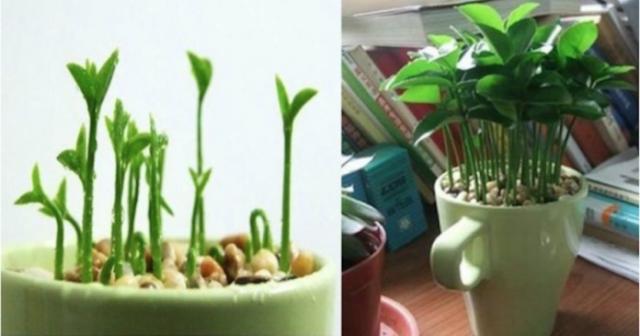 Aprende a plantar un limón en una taza y tu casa olerá genial, además, es muy decorativo