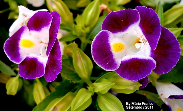 Flower Torenia fournieri