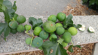 Wasp colony in Figs Tree