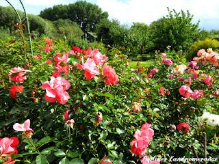 Rosen im September