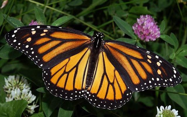 Πεταλούδες Μονάρχης: Απίστευτες εικόνες από το μεταναστευτικό τους ταξίδι (βίντεο)