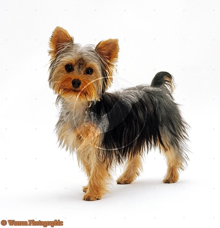 Puppy Yorkie Terrier | www.imgkid.com - The Image Kid Has It!
