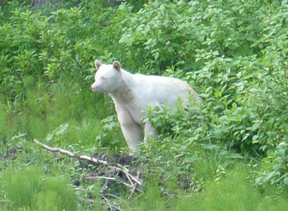 Black Bear | A-Z List of 125 Rare Albino Animals [Pics]