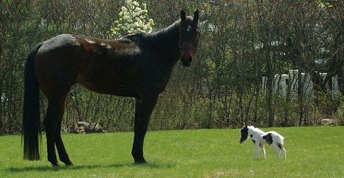 Einstein The Worlds Smallest Horse Damn Cool Pictures
