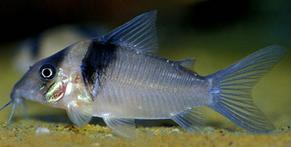 Jenis Ikan Corydoras virginiae