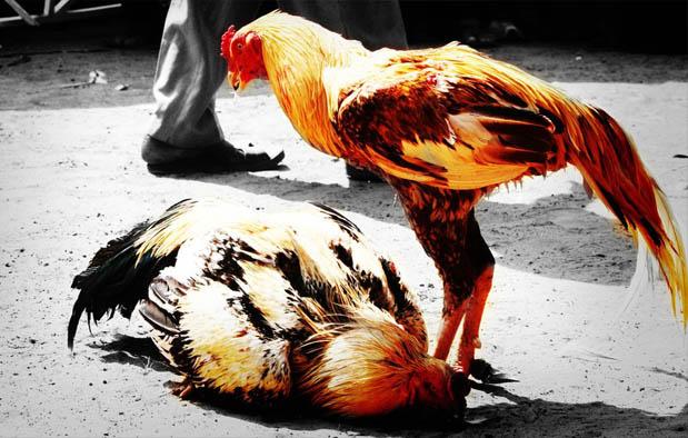 Perawatan Ayam Bangkok