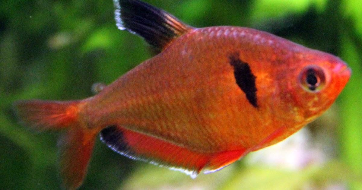 Budidaya Ikan Serpae Tetra Lovedfish