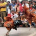 'Fighter' cocks of Andhra Pradesh cost lakhs, but bring in crores