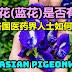 蝶豆花(蓝花)是否有毒?看看各国医药界人士如何说?Asian pigeonwings