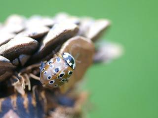 Coccinelle ocellée d'Amérique : Anatis mali
