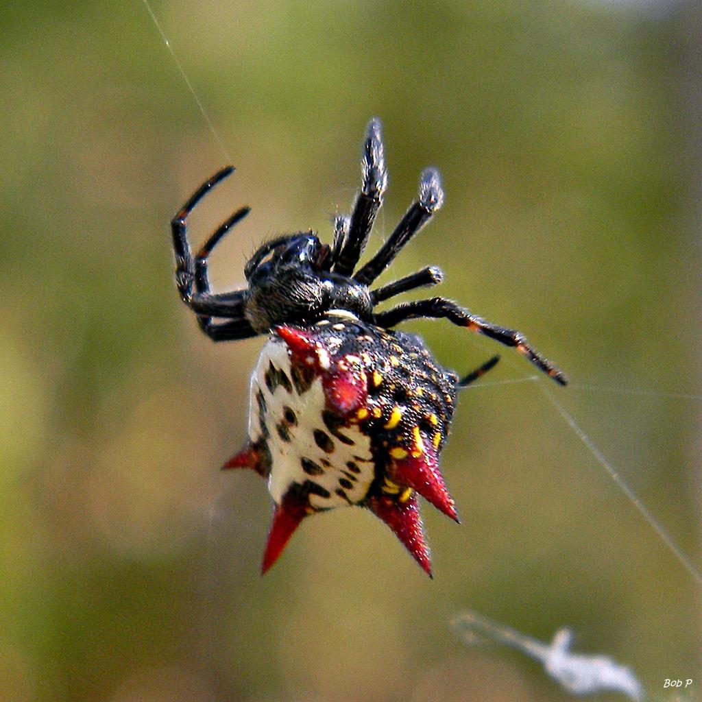 Real Monstrosities: Crab-like Spiny Orbweaver