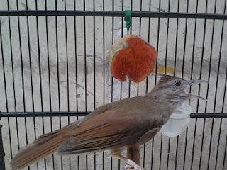 Download suara burung kapas tembak mp3