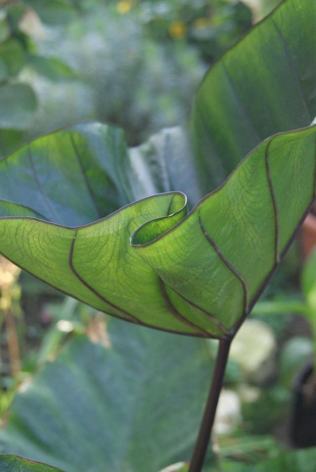 Blatt von Colocasia Coffee cups