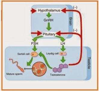 Hipotalamus - GnRH - Pituitari - Hormon