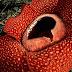 Sekelumit Cerita Tentang Bunga Raflesia Arnoldi Flora Khas Indonesia
