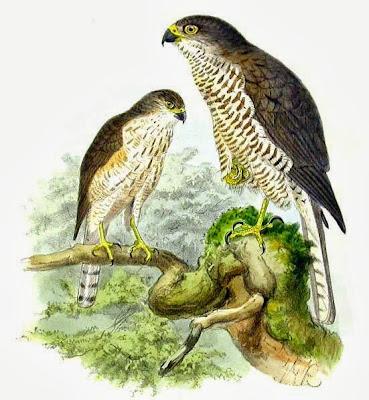Gavilán griego Accipiter brevipes