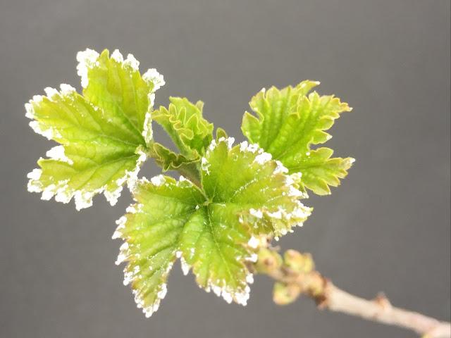 Erste Blätter mit weissem Rand
