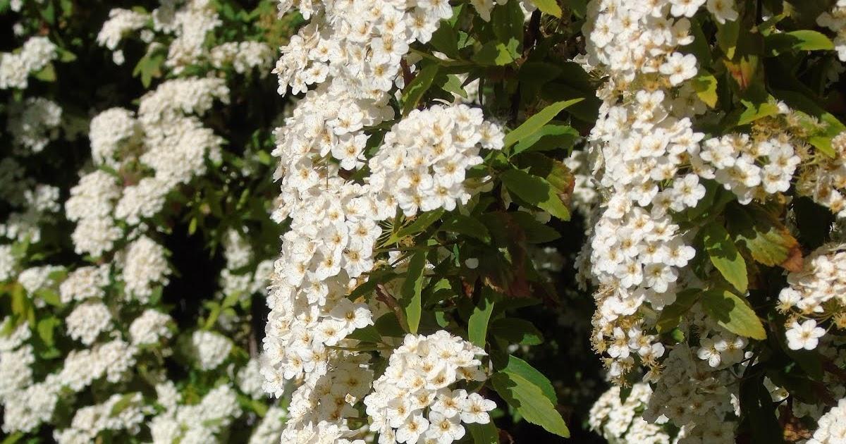 Jardineria eladio nonay spirea jardiner a eladio nonay - Jardineria eladio nonay ...