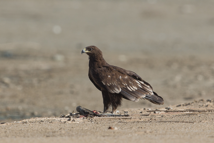 Greater Spotted Eagles  – Sabkhat Al Fasl