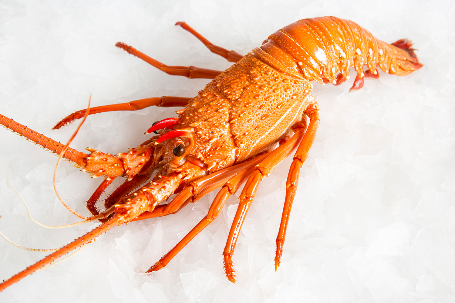 Indonesia Lobster Supplier, Lobster Farming, Live lobster supplier  indonesia, Lobster Nutrition: Lobster Species and Characteristic