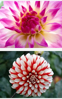 Keanggunan bentuk bunga dahlia