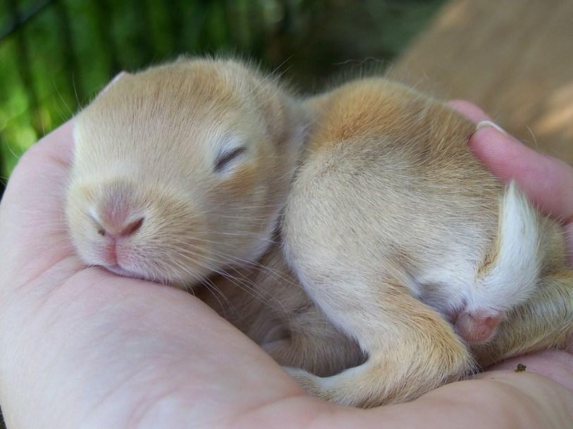 Memelihara anak kelinci dirumah gambar dan foto kelinci imut dan lucu super lucu sangat manis