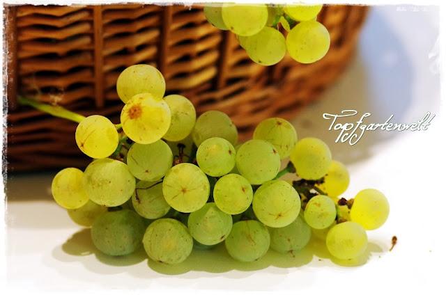 Gartenblog Topfgartenwelt Weintrauben: Weinrebe mit Erntekorb
