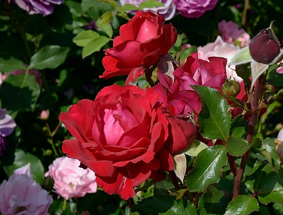 Traumfrau сорт розы фото купить саженцы Минск питомник