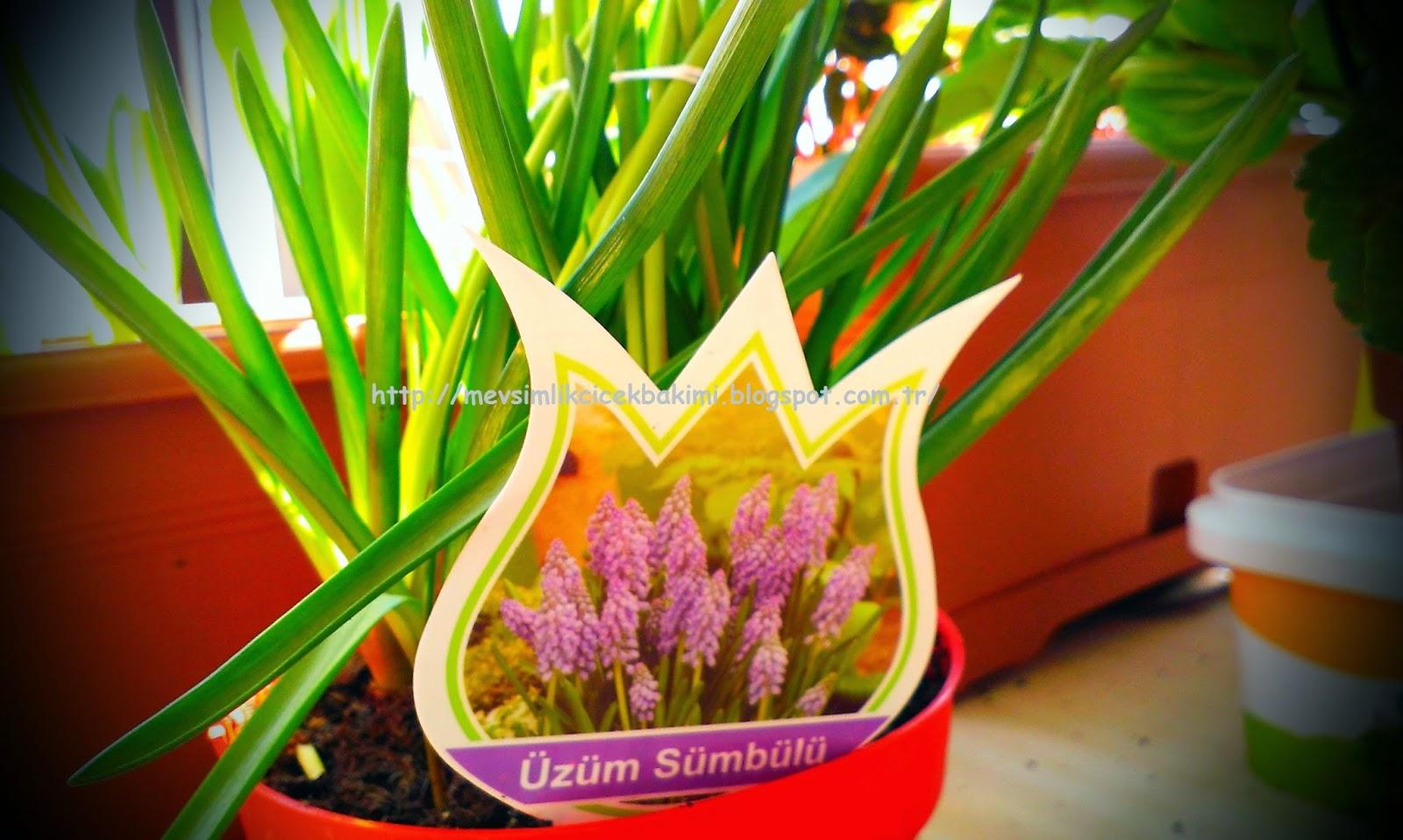 Arap Sümbülü Çiçeği Bakımı Ve Özellikleri