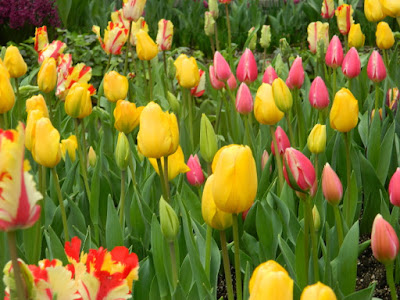 Tulips at Centennial Park Conservatory Spring Flower Show 2017 by garden muses-not another Toronto gardening blog