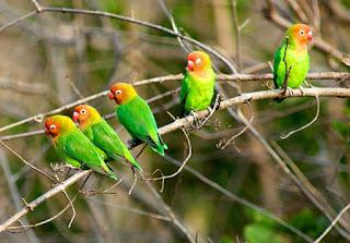 pakan lovebird agar ngekek panjang,ciri ciri lovebird ngekek panjang,cara membuat lovebird rajin ngekek,setelan lovebird ngekek panjang,makanan lovebird biar cepat gacor,