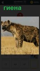 На пожелтевшей траве стоит дикая кошка хищная гиена. Смотрит по сторонам и выискивает для себя пищу