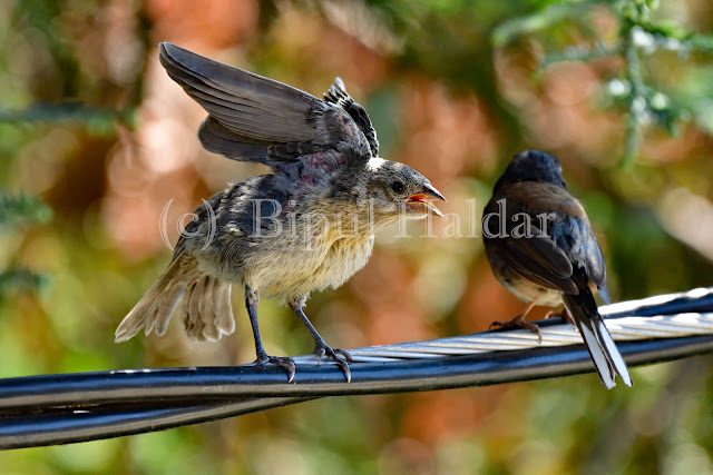 The chick is asking for food from mommy Junco