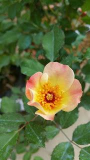 nhân giống hoa hồng ngoại