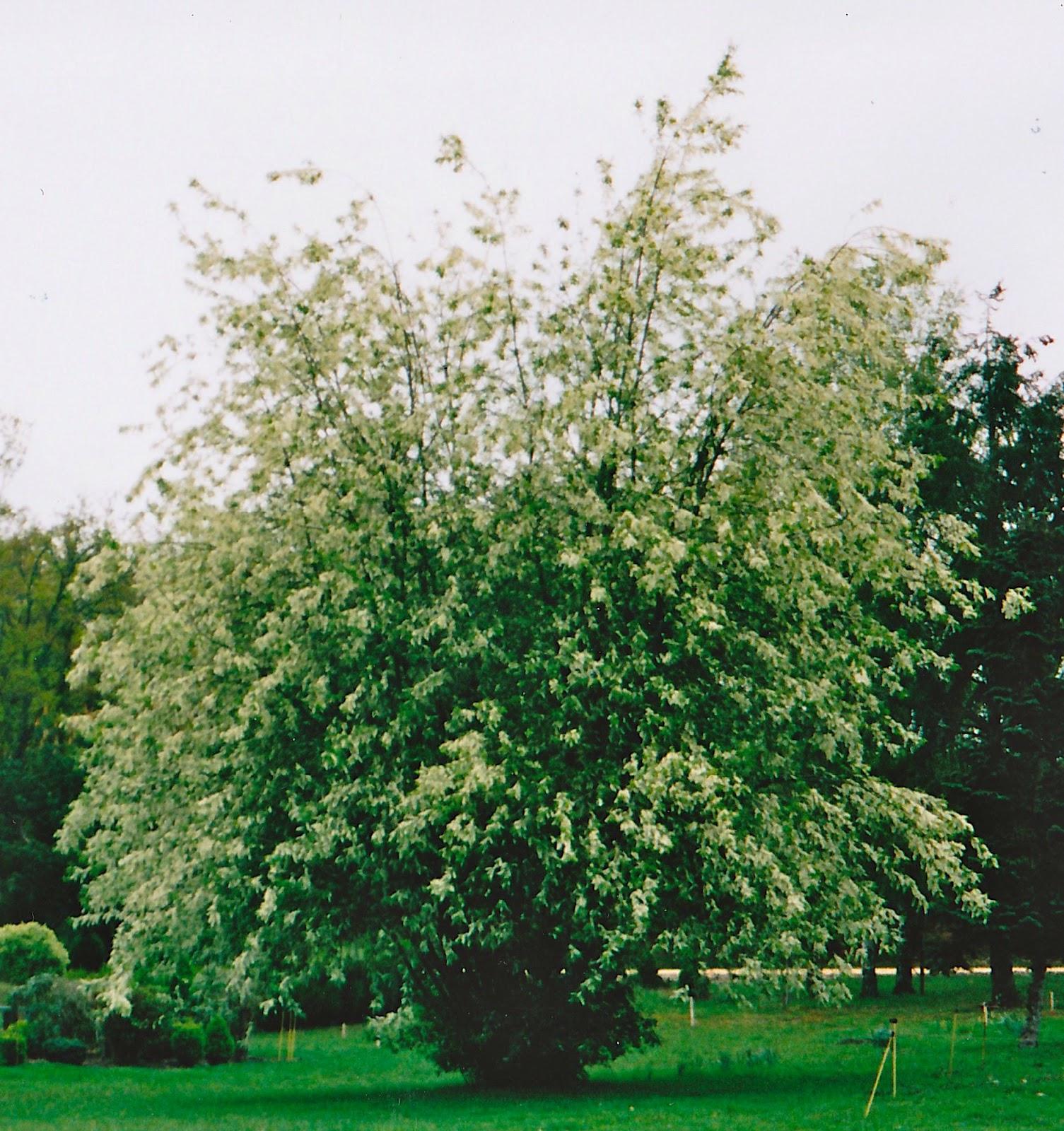 Naturetum Prunus padus