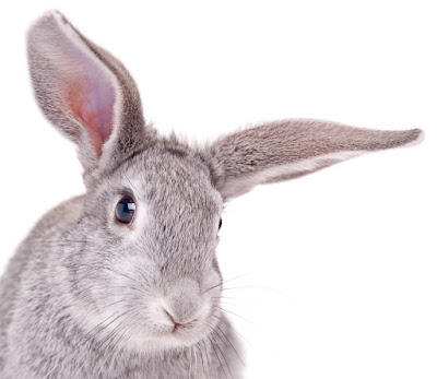 rabbit-on-white-background_shutterstock_64146802.jpg